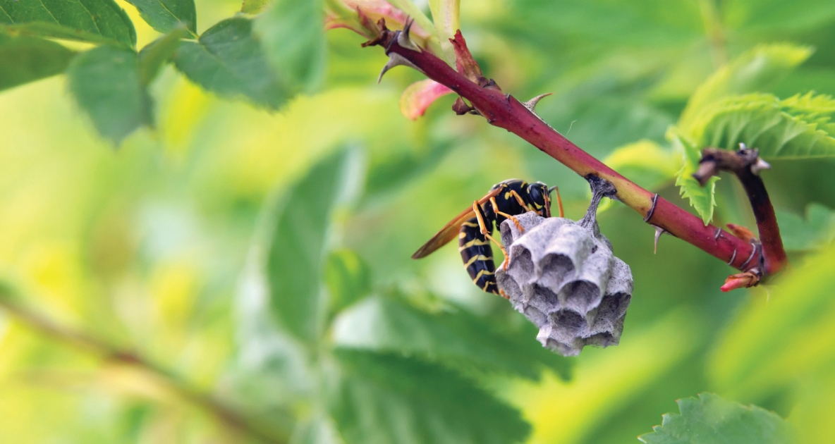 Bees - European paper wasp