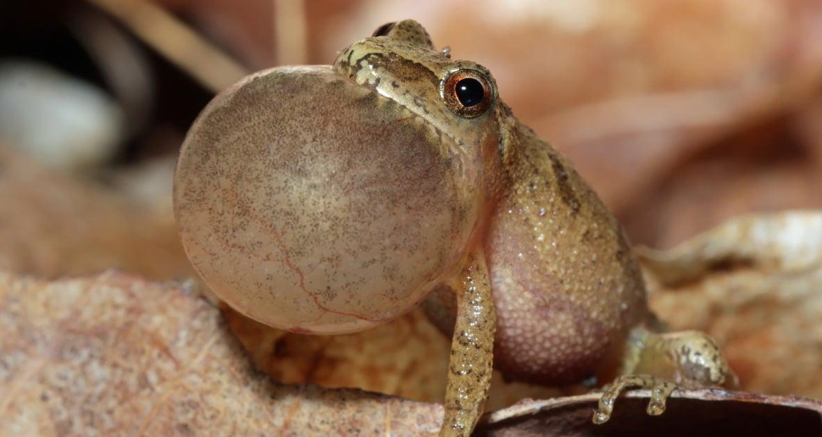 Frogs - Amphibians