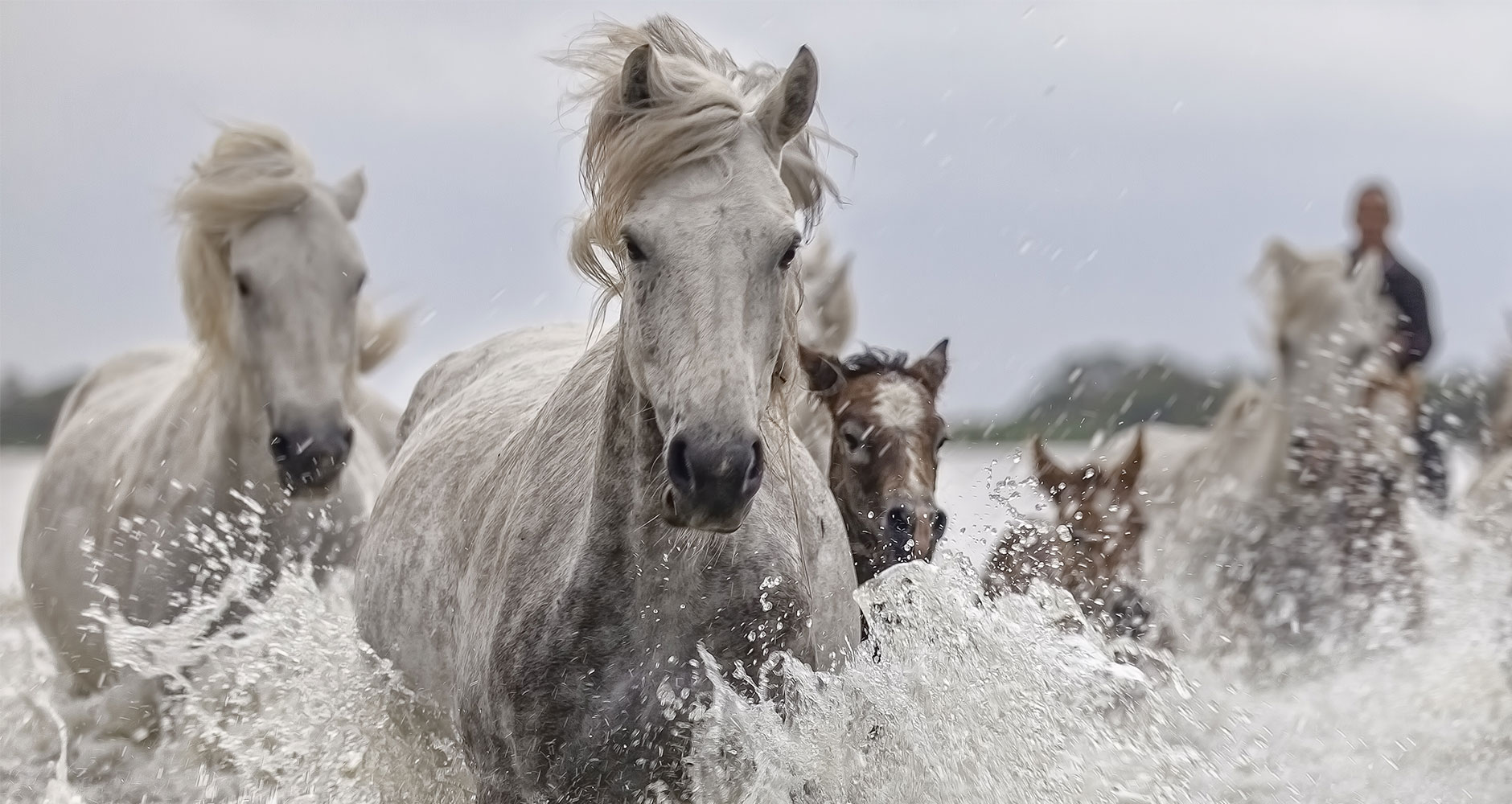 horses traveling in water