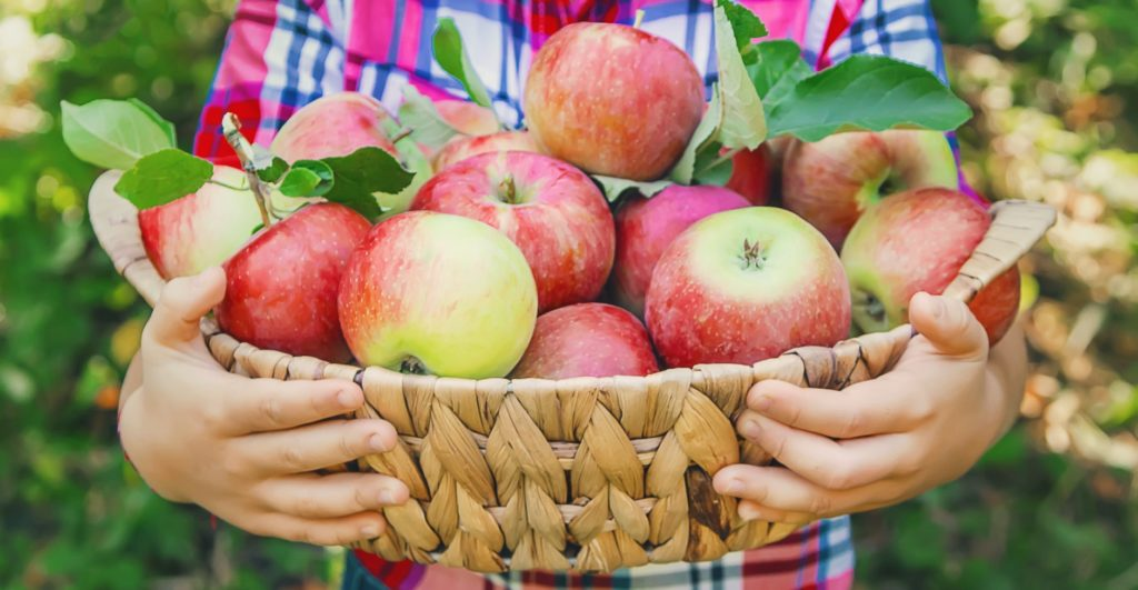 Freshly picked apples in a basket held by a young person