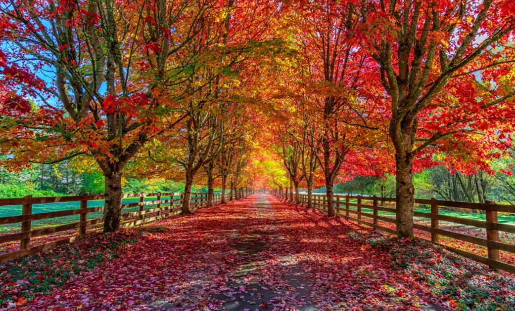 Beautiful colored Autumn trees lining a driveway.