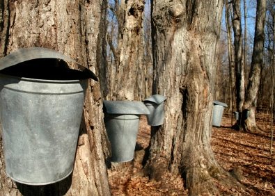 Backyard Maple Sugaring featured image
