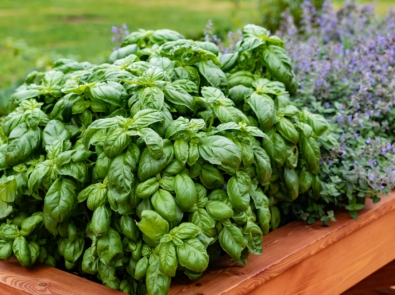 8 Tips To Grow Big, Bushy Basil featured image