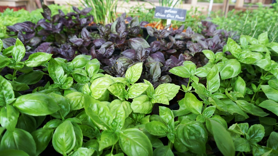 green and purple Basil - herbs