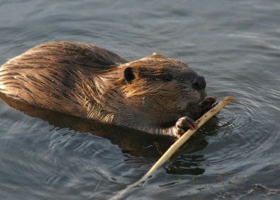 Garden Pests: Beavers featured image