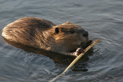 Rodents - American beaver