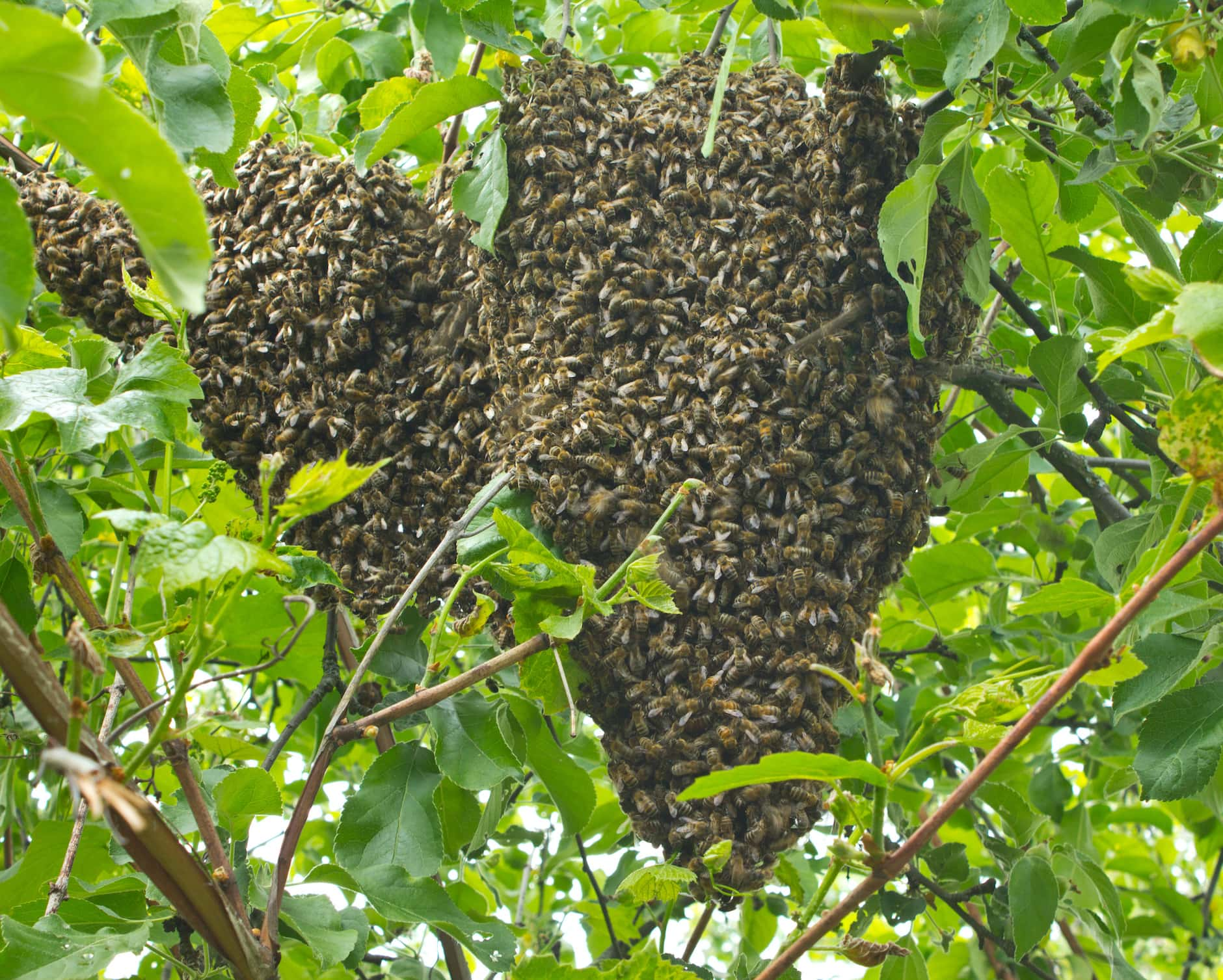 """What Is Bee """"Swarming"""" Exactly?image preview"""