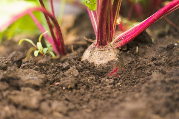 beets growing in the ground