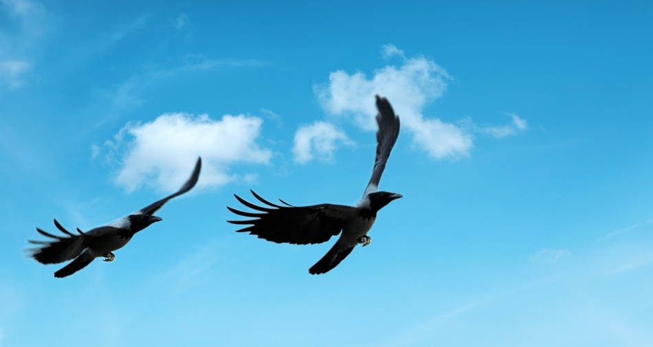 Two crows flying together against a blue sky.