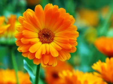 October Flower Lore: Calendula and Cosmos featured image