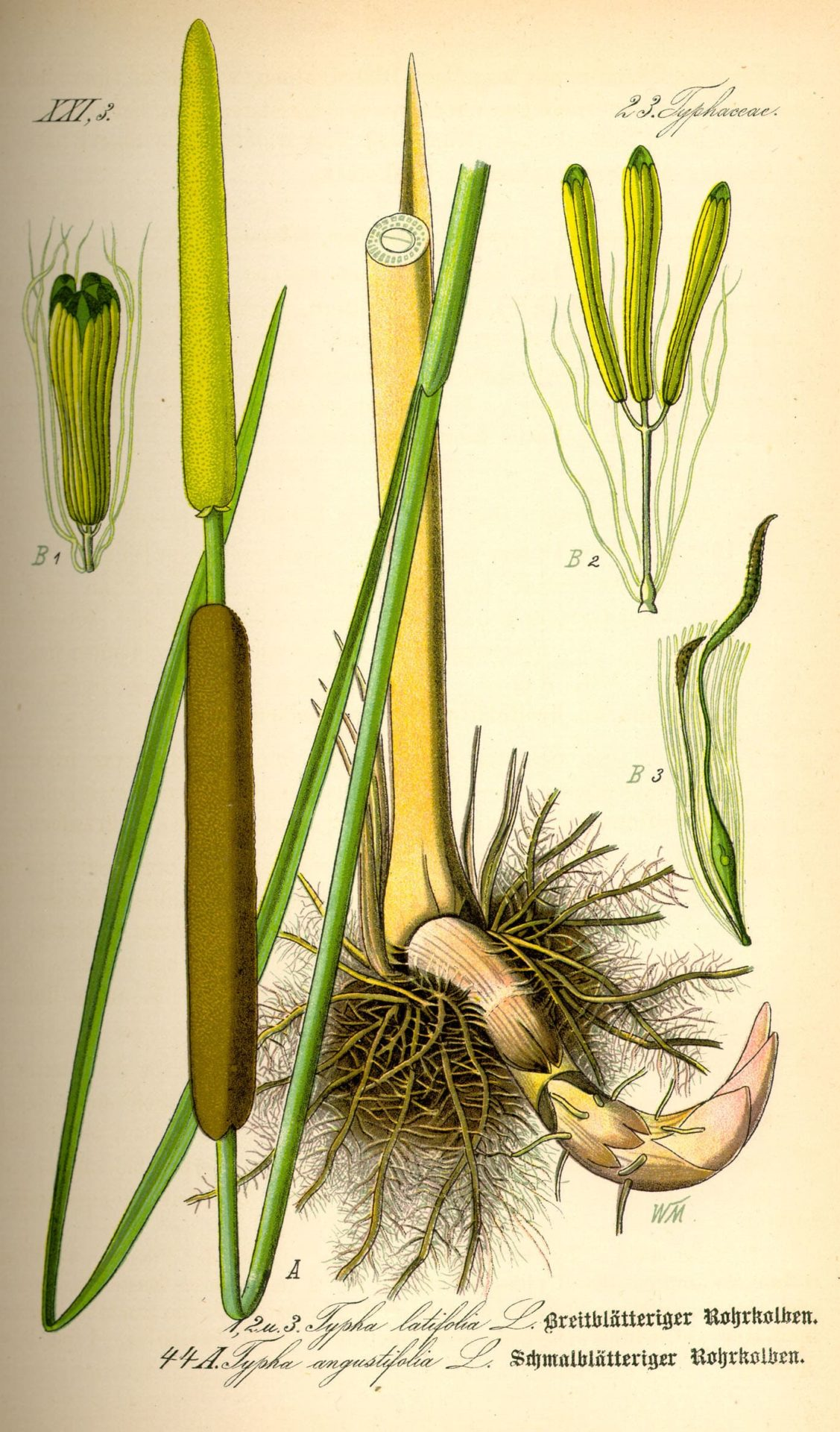 cattail-illustration