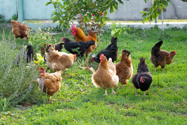 Chickens in the garden on the farm are grazing on the grass