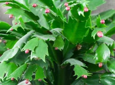 Thanksgiving Cactus or Christmas Cactus Blooming in March? featured image