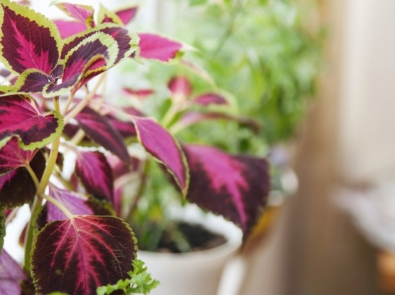 How To Overwinter Coleus And Other Plants Indoors featured image