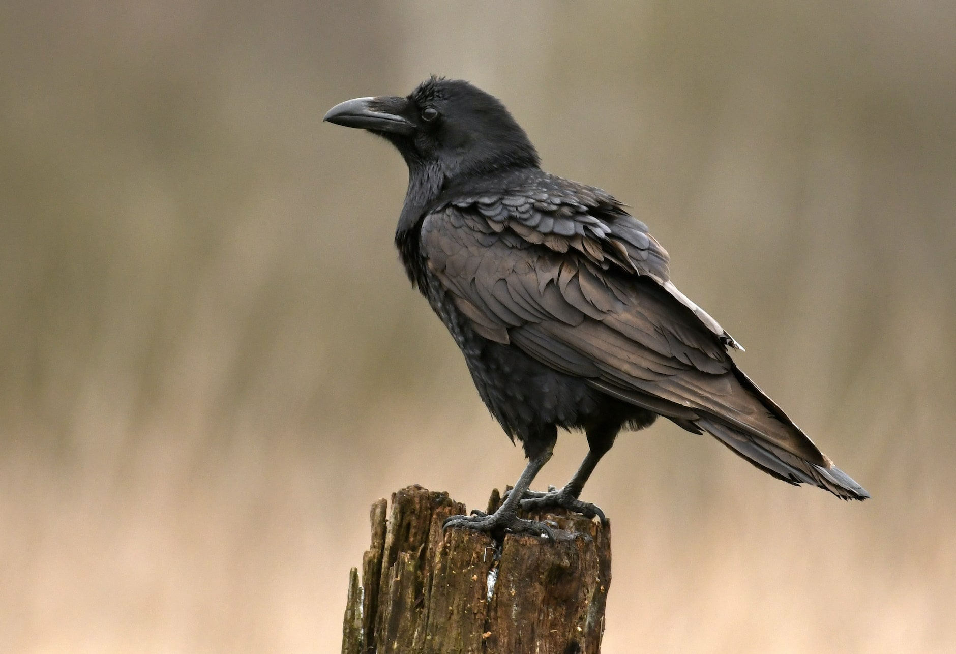 common raven on a post