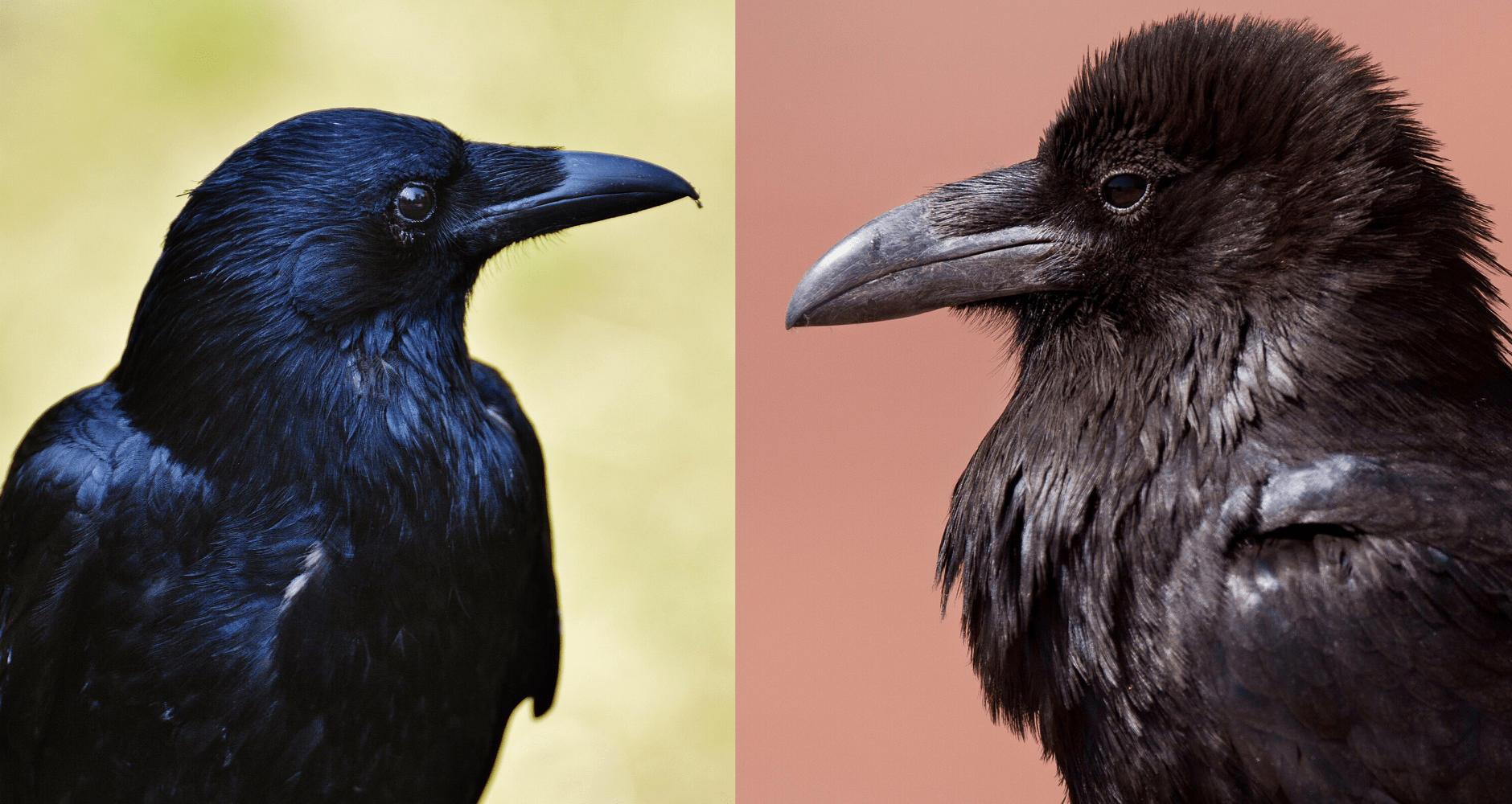 american crow and common raven side by side comparison