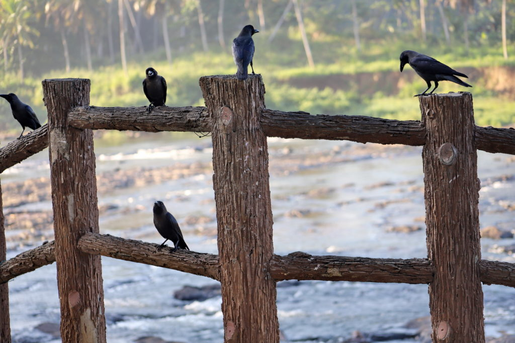 five crows on a fence