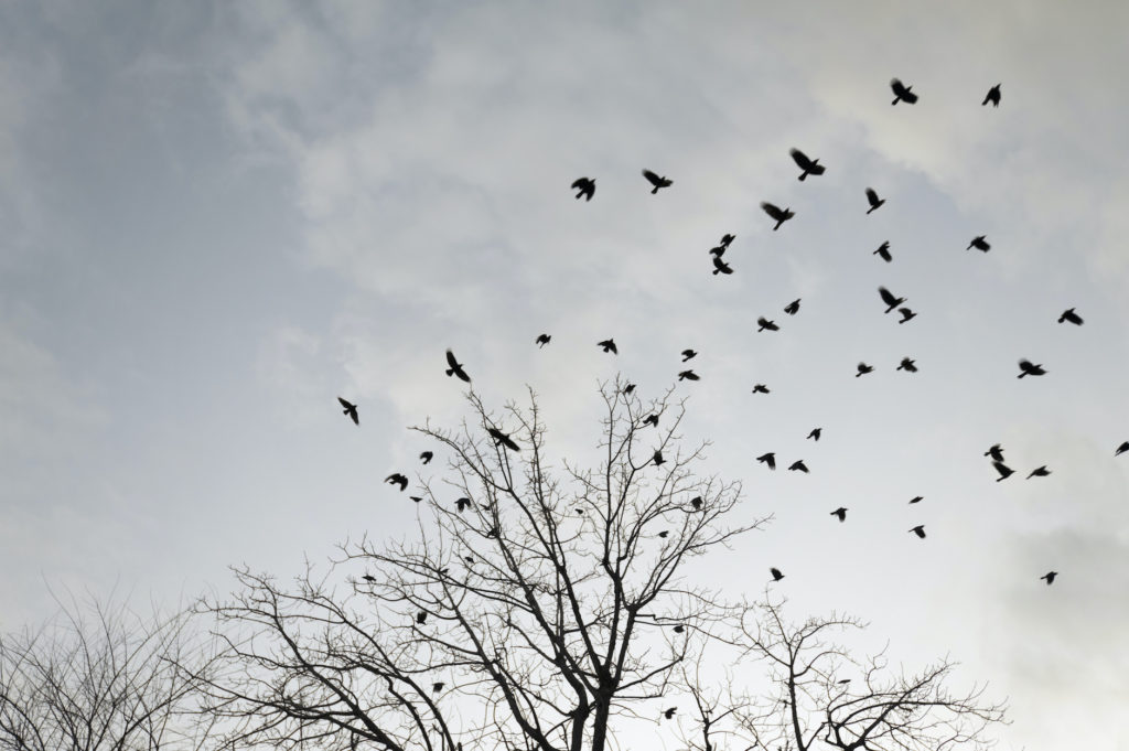 a murder of crows roosting in tree