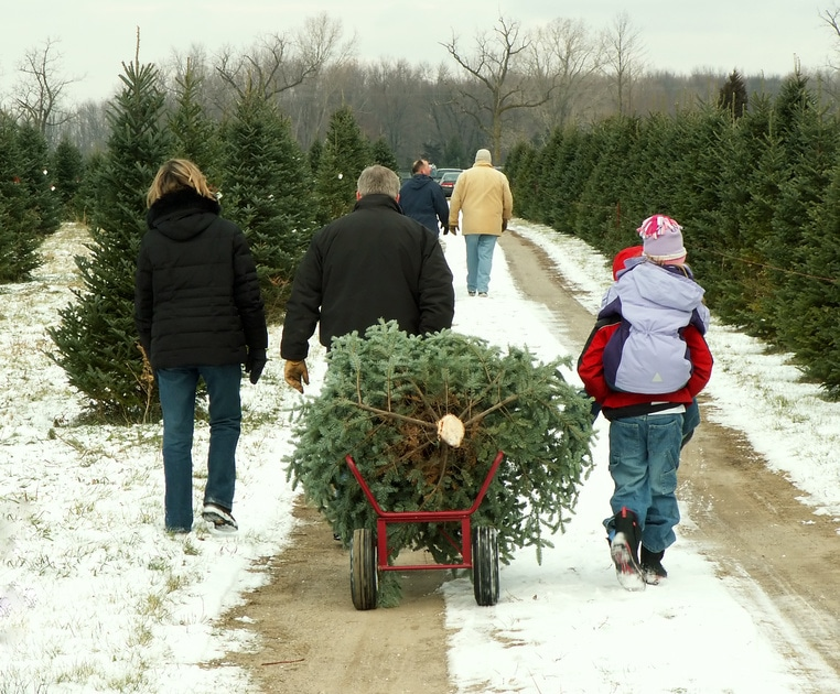 Christmas Tree - Tree farm