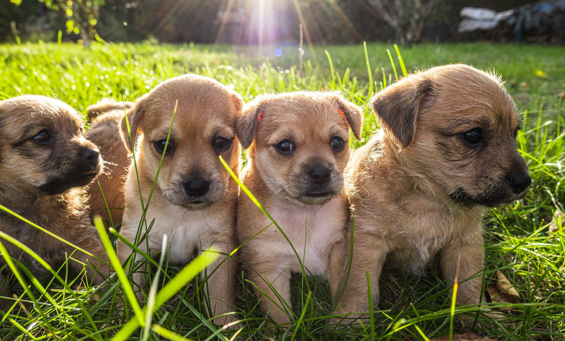 group of puppies on the grass with sunlight overhead