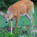 White-tailed deer - Deer