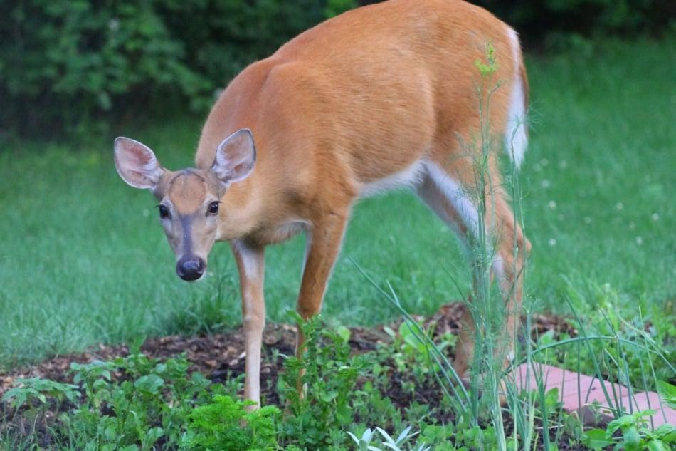 White-tailed deer - Deer