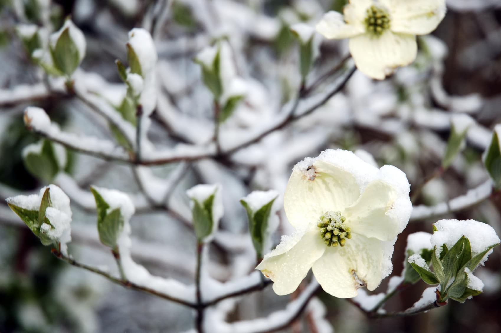 What is Dogwood Winter?image preview