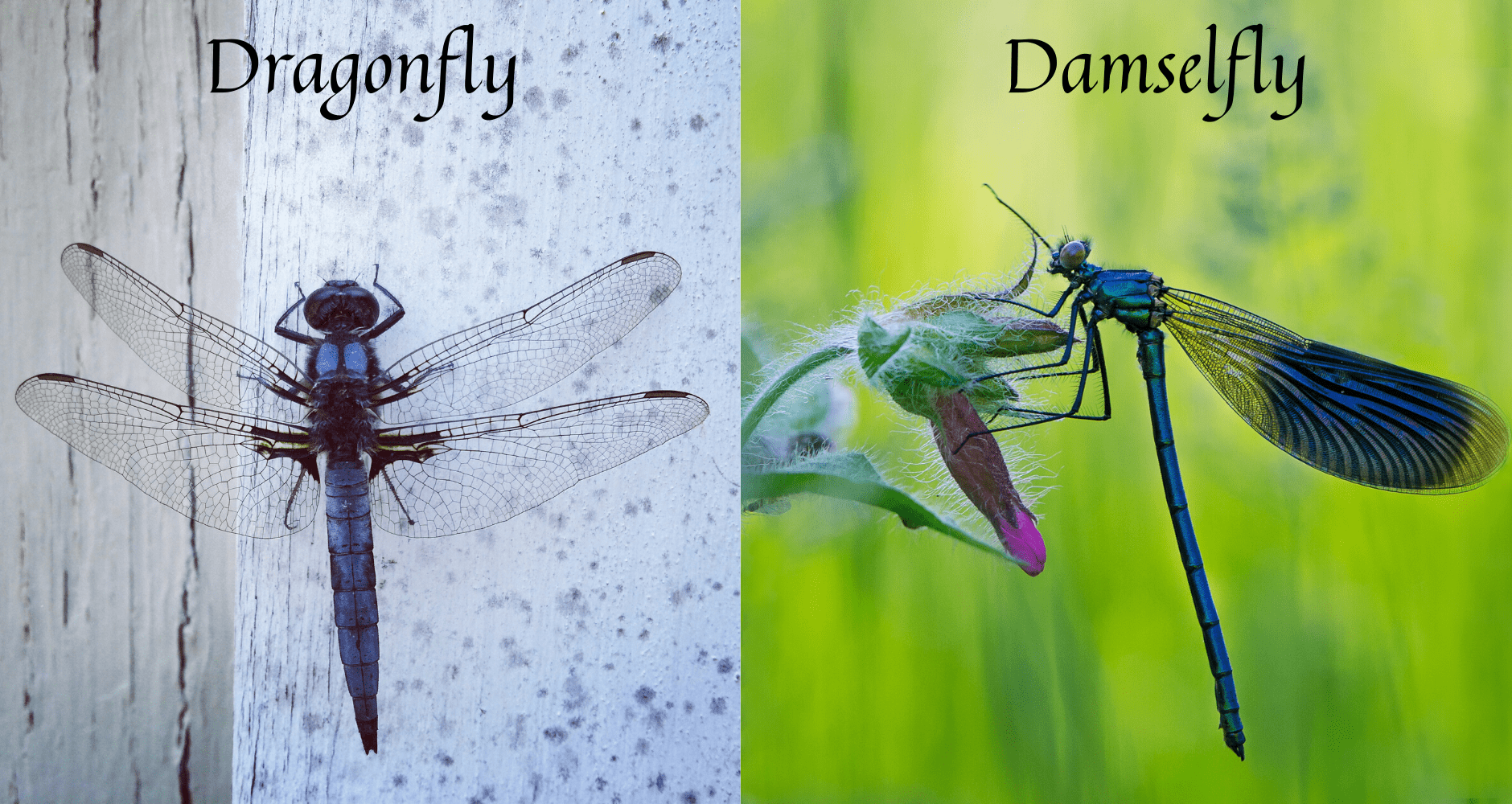 a dragonfly and damselfly side by side