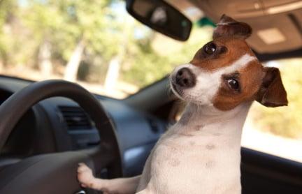 Jack Russell Terrier - Car