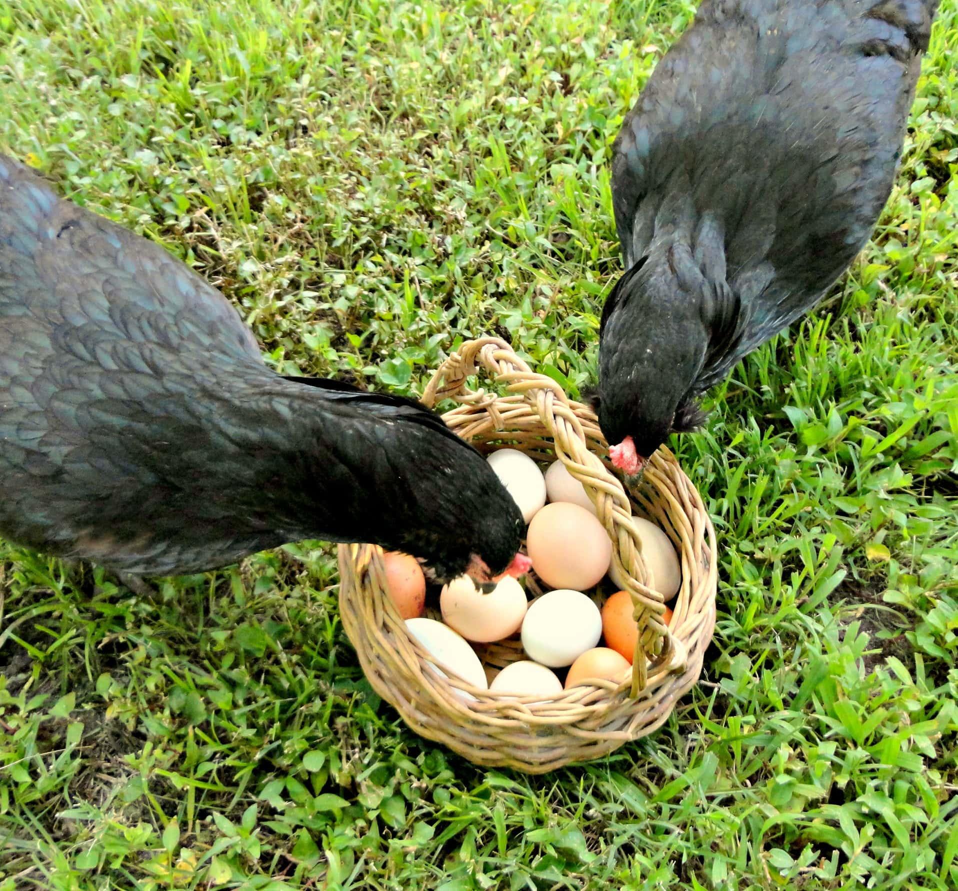 egginspectors