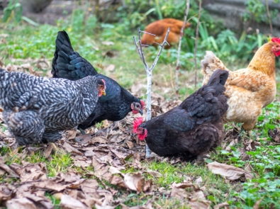 Fall Garden Clean Up? Get Help From Your Chickens! featured image