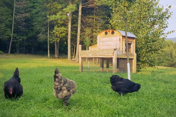farmers-almanac-chickens-foraging