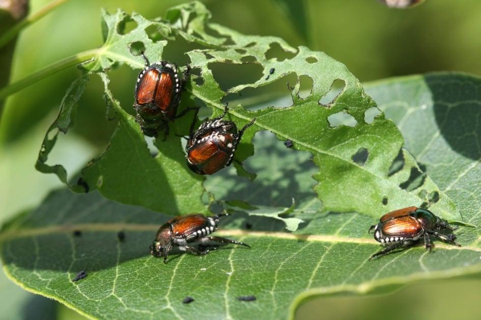 Beetles - Japanese beetle