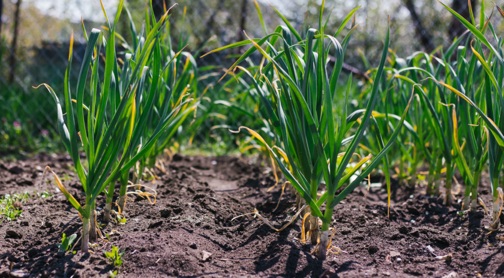 rows of garden garlic