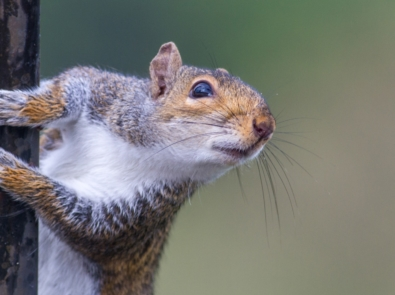 Household Pests: Gray Squirrels – Problems and Solutions featured image