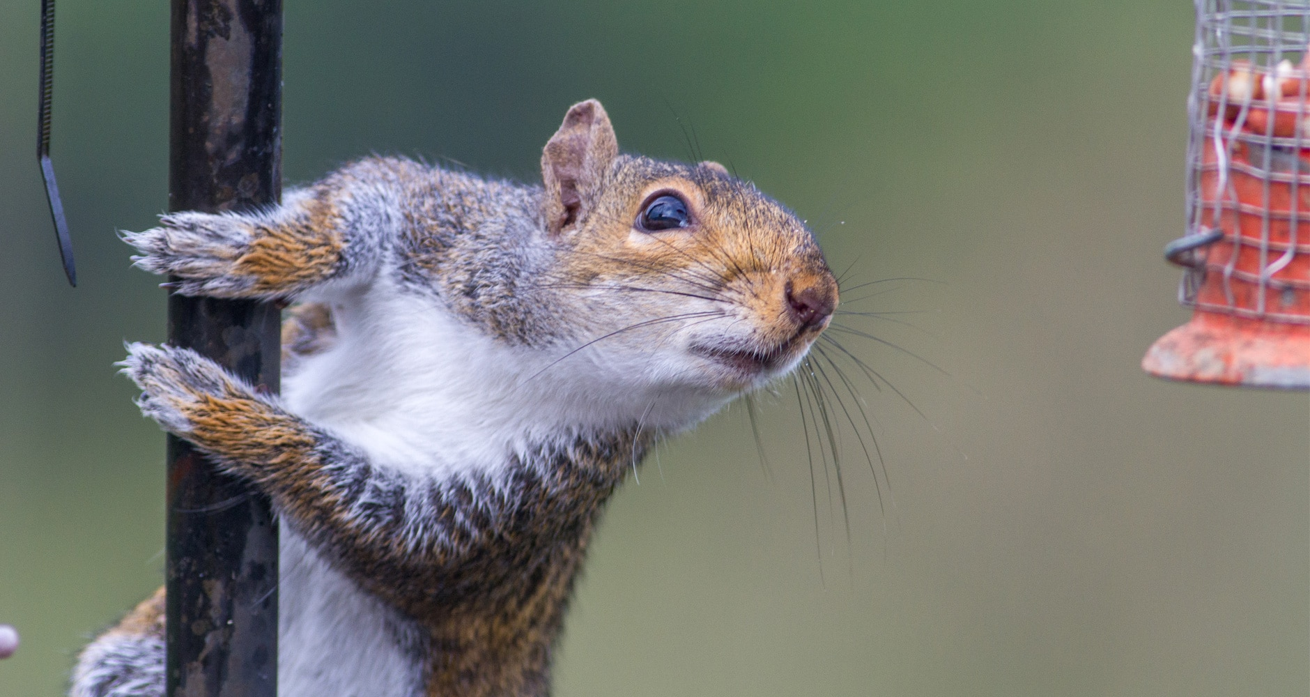 Pest of the Month: Gray Squirrelsimage preview