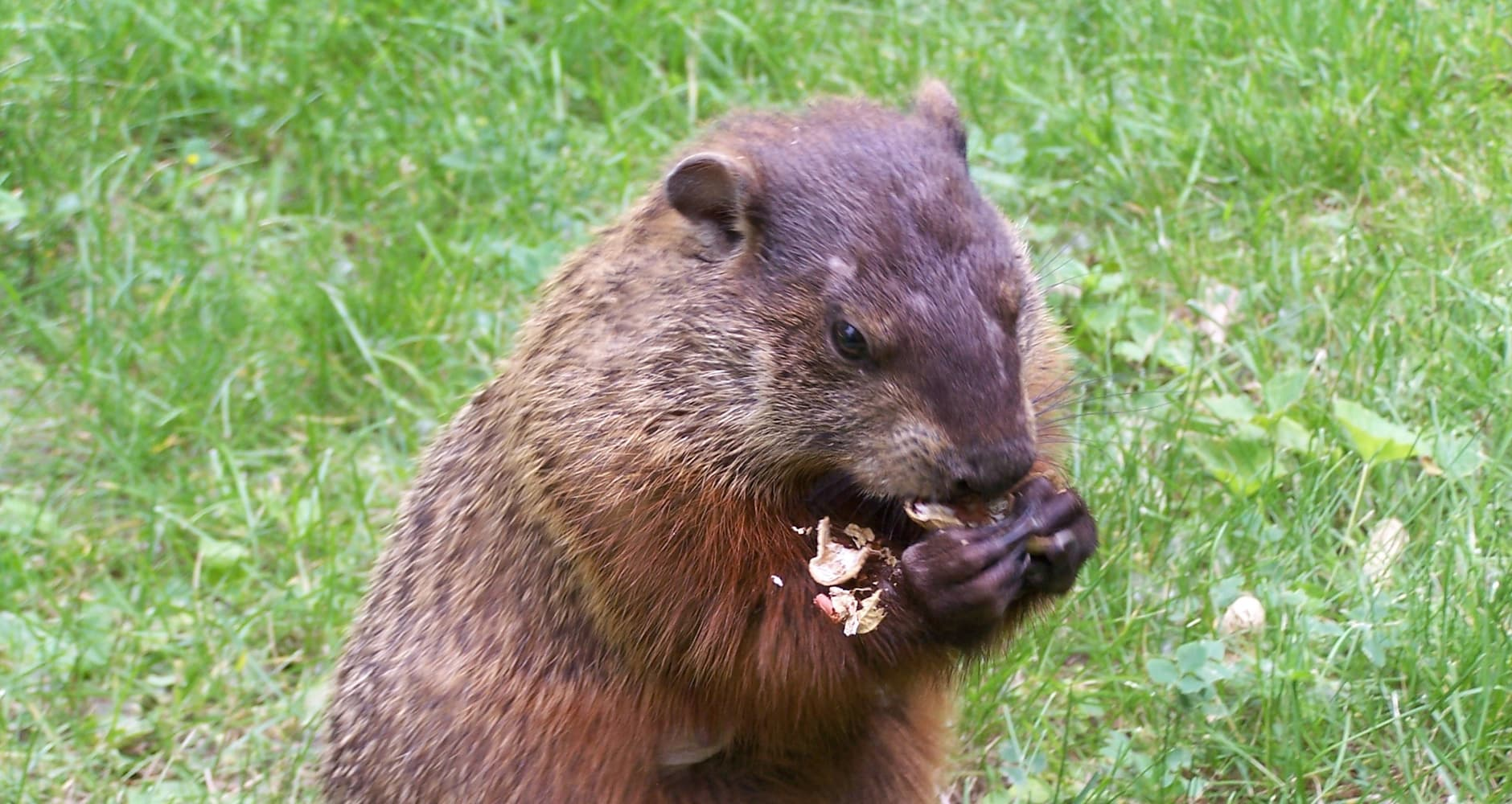 Pest of the Month: Groundhogsimage preview