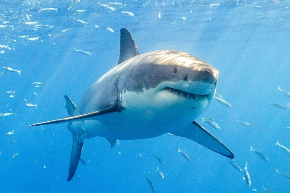 Sharks - Great white shark