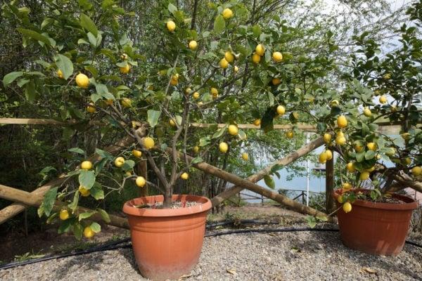 Stagione dei limoni