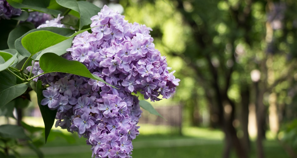 Flowering plant - Common lilac