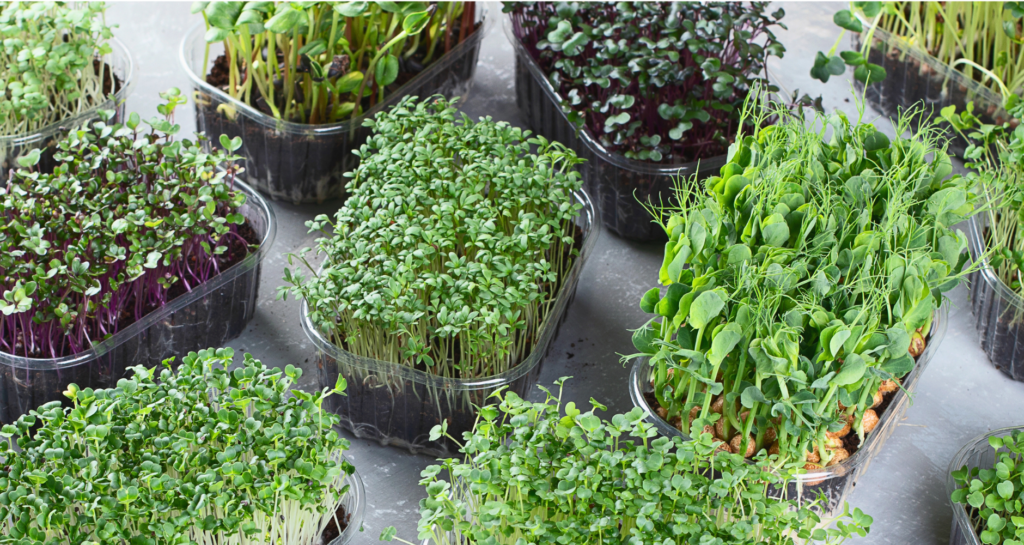 Microgreen - Sprouting