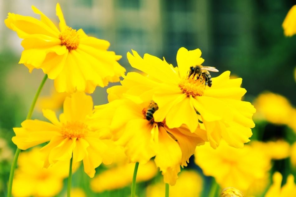 A bee on a yellow flower.