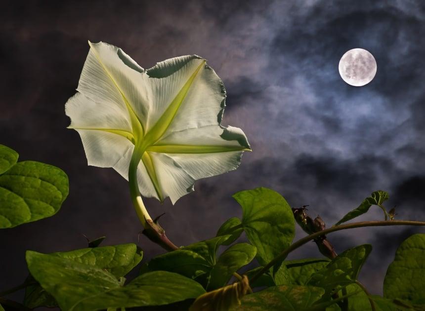 Tropical white morning-glory - Flowering plant