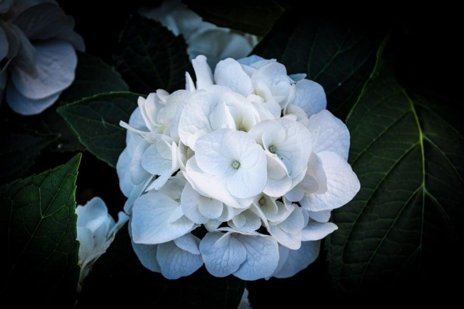 Oakleaf hydrangea - Garden