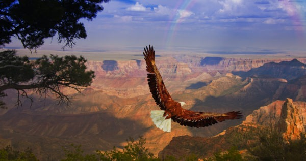 Eagle Takes Flight Over Grand Canyon in the USA.