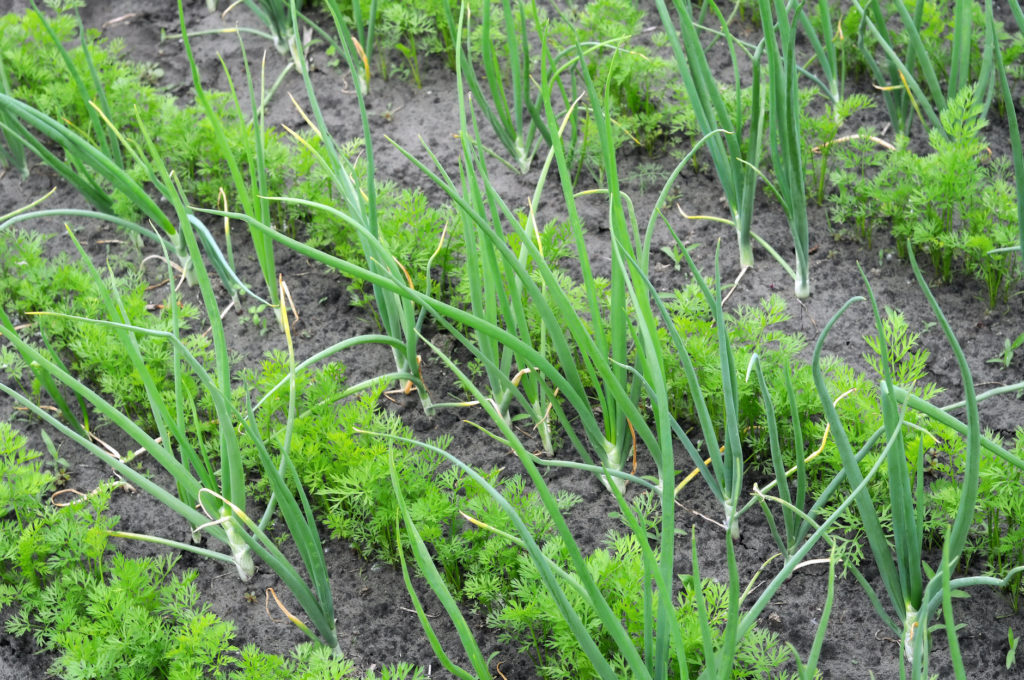 organically cultivated onion and carrot in the vegetable garden