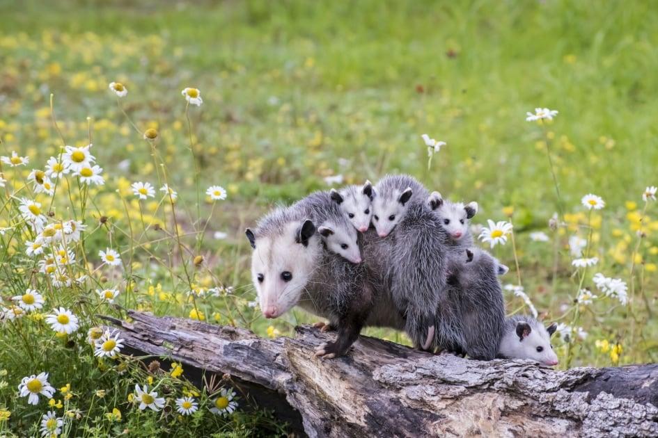 Virginia opossum - Common opossum