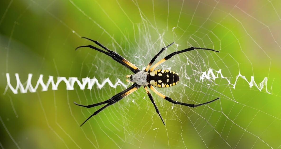 Spider - Yellow garden spider