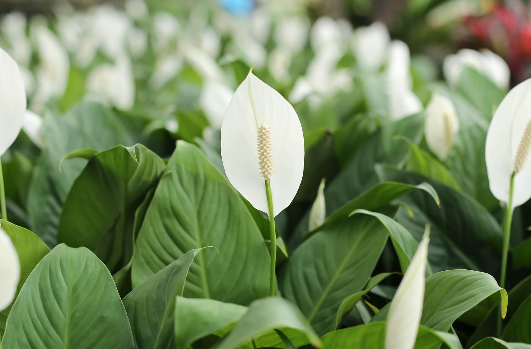 Potted peace lily flower