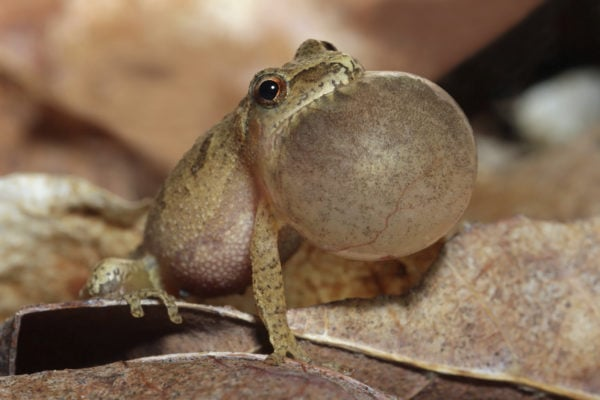Male Spring Peeper (Pseudacris crucifer) With Vocal Sac Inflated as it Sings
